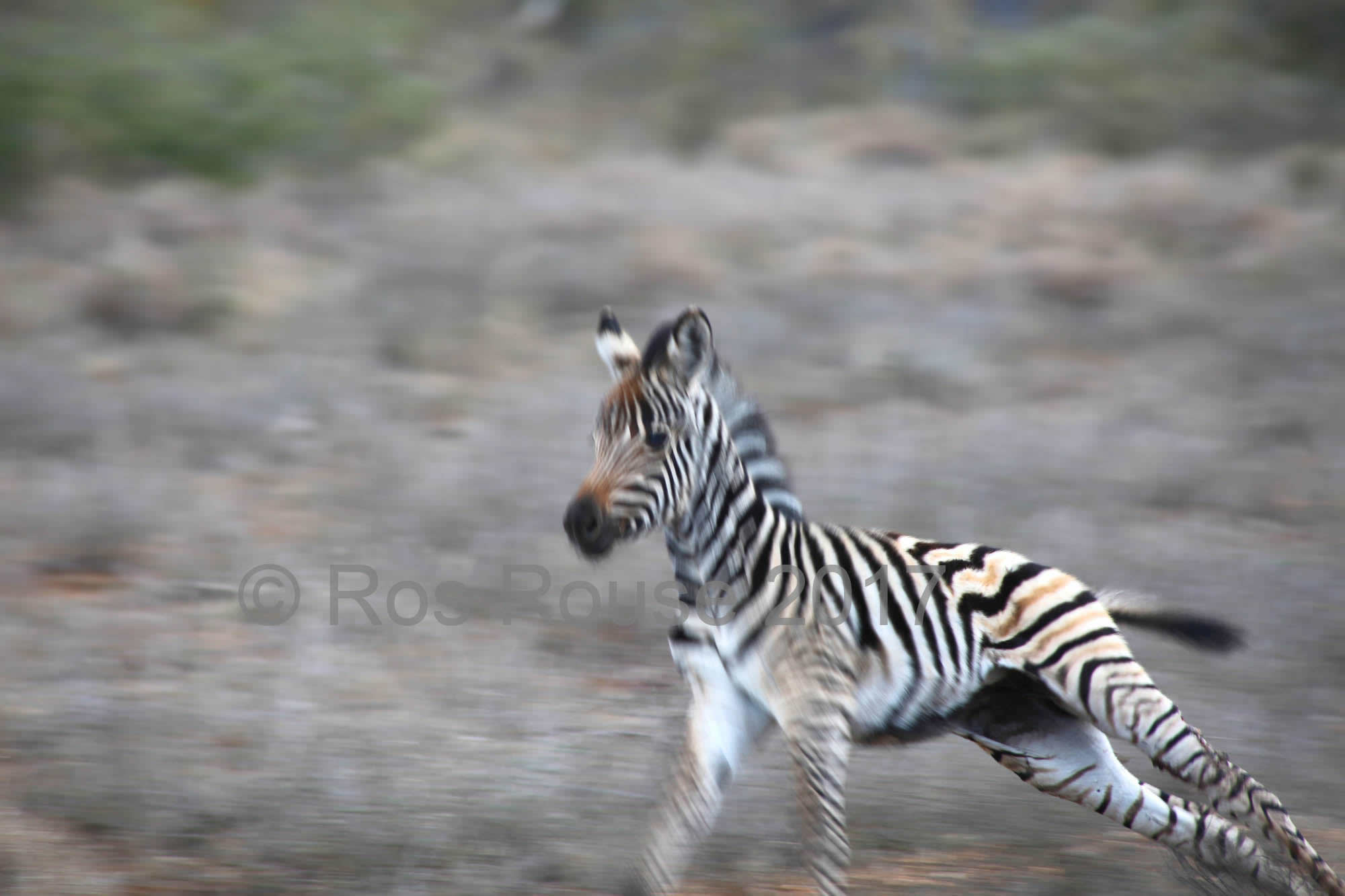 Baby Zebra Africa