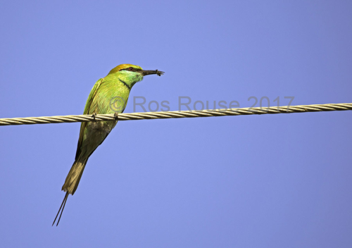 Bee Eater with India Rajhasthan blue sky