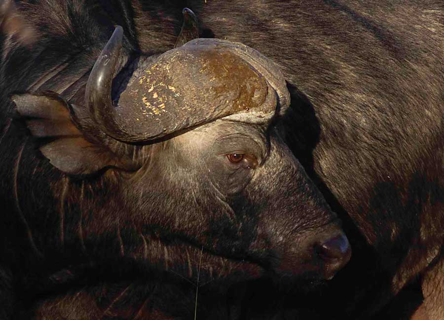 buffalo photo by Ros Rouse