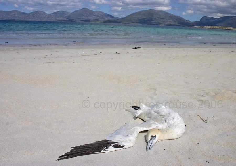 Hebrides Harris Gannet dead bird on a beautiful beach
