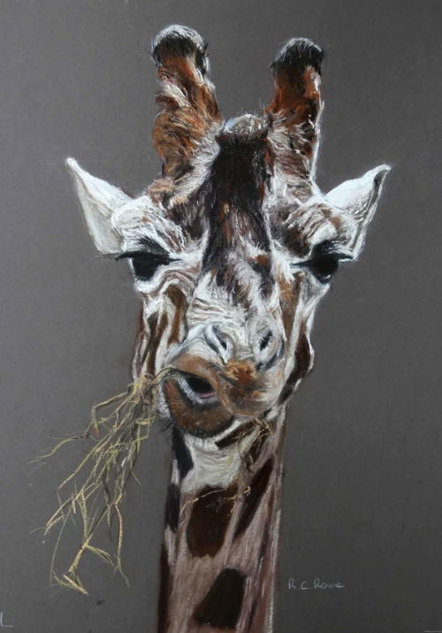 Giraffe head eating - pastel painting by Ros Rouse