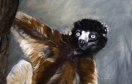 crowned sifaka lemur tan black pastel portrait endangered