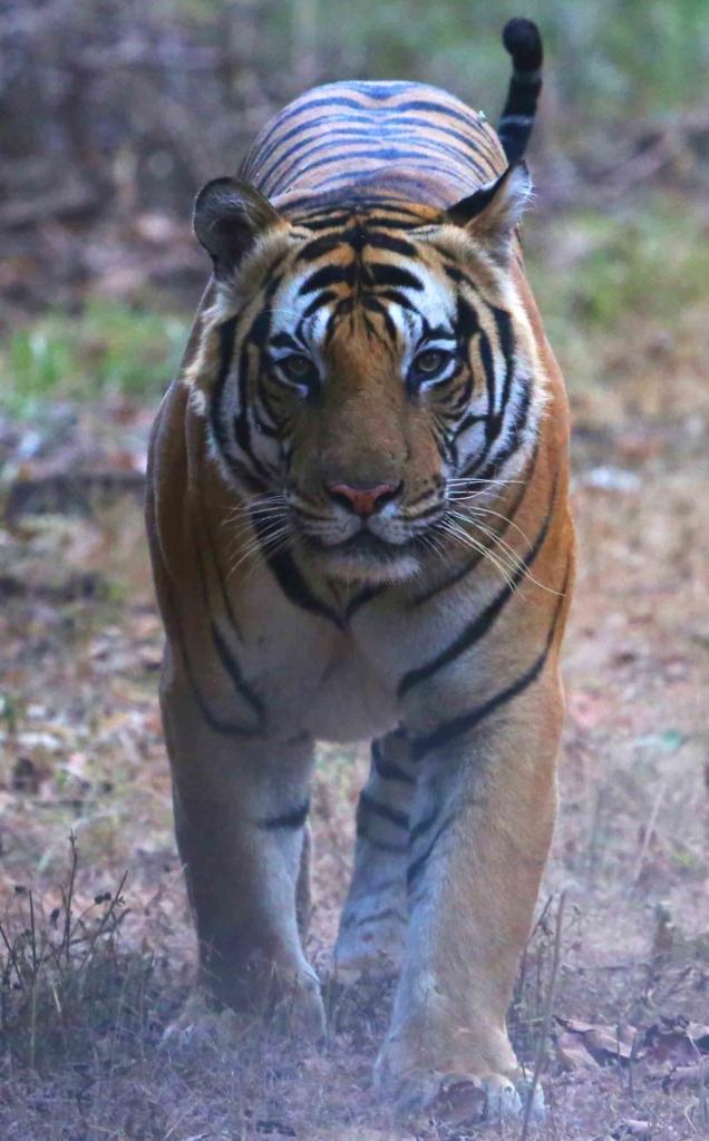 Tiger walking towards me