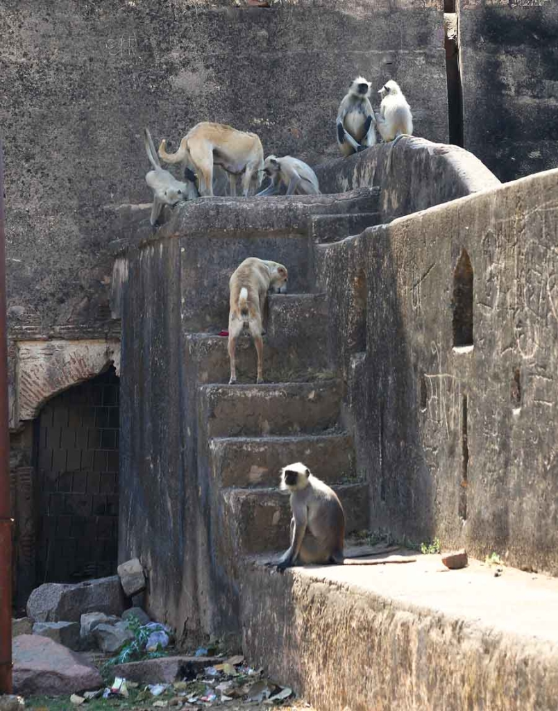 Dog and monkeys in India
