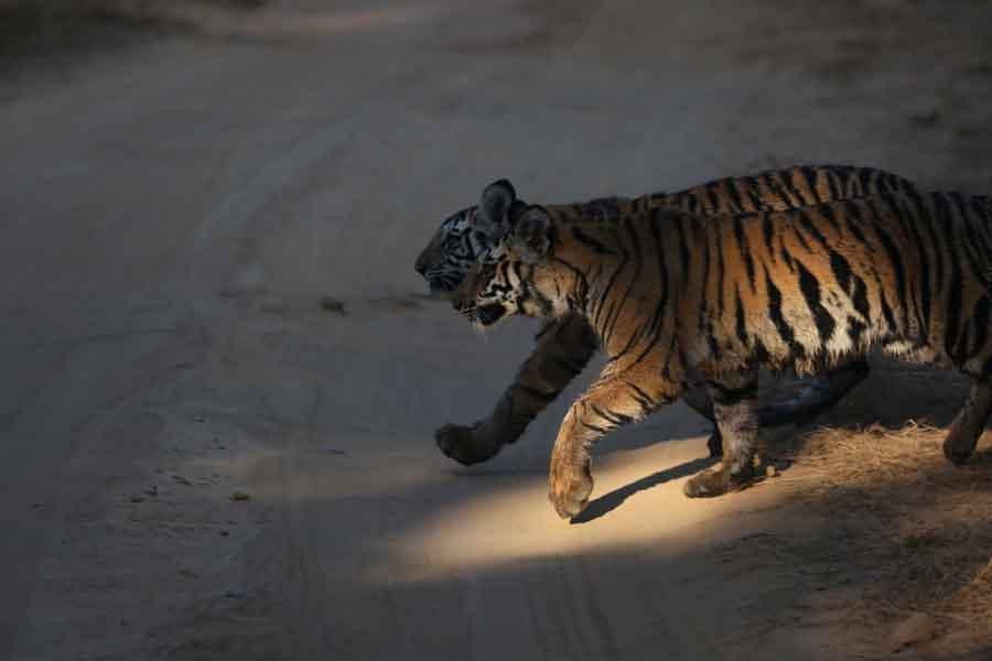 Tigers cubs wet
