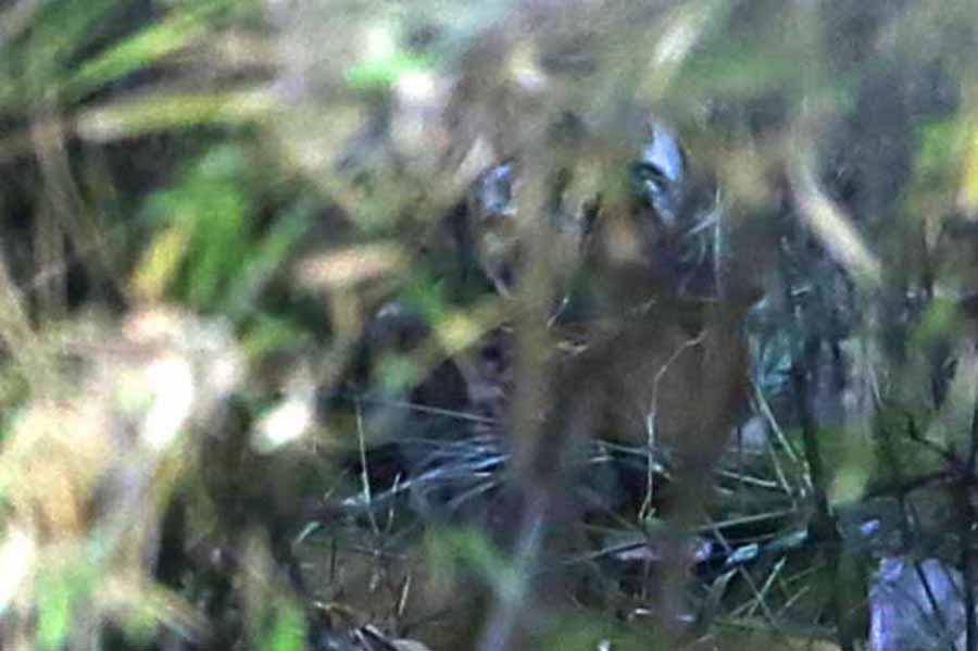 small tiger and prey