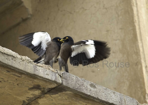 Mynah Birds fighting Ros Rouse photograph India Bera falling off ledge
