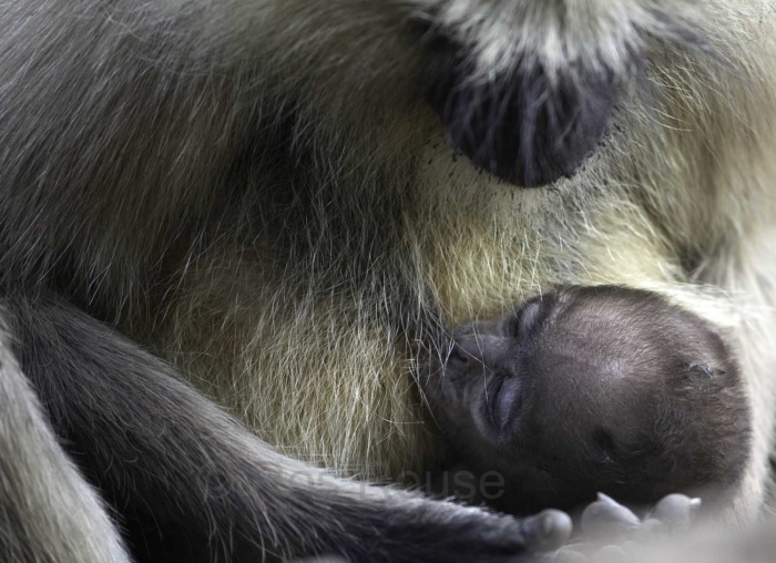 India Mother and baby langur monkey; mother cradling baby; sucking; photograph Ros Rouse